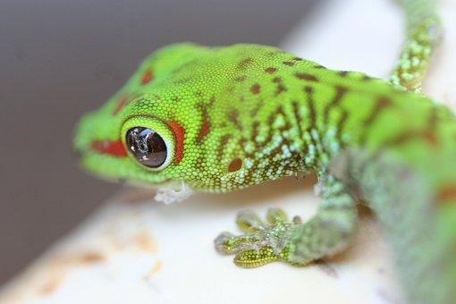 Gecko Baby, Gecko, Lizard, Reptile, Animal