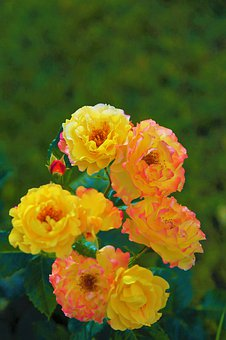 Rose, Spring, Yellow, Nature, Flower, Romantic, Love