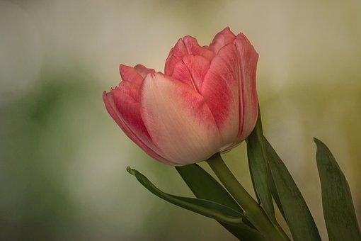 Nature, Tulip, Lilies, Spring, Stuffed Tulip, Tulipa