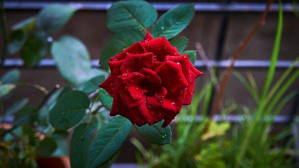 Rose, Flower, Love, Nature, Blossom, Red