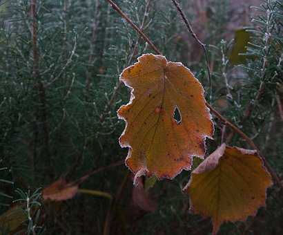 Leaf, Frost, Winter, Cold, Leaves, Nature, Wintertime