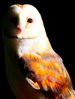 Barn Owl, Owl, Bird, Plumage, Predator, Nocturnal
