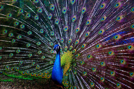 Peacock, Colors, Bird, Colorful, Feather, Pattern