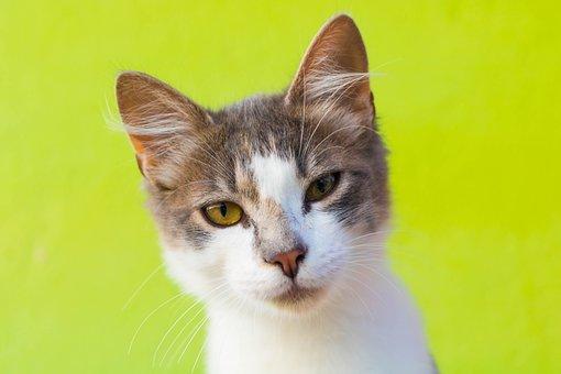 Kitten, Pet Cat, Animals, Cute, Eyes, Kitty, Adorable