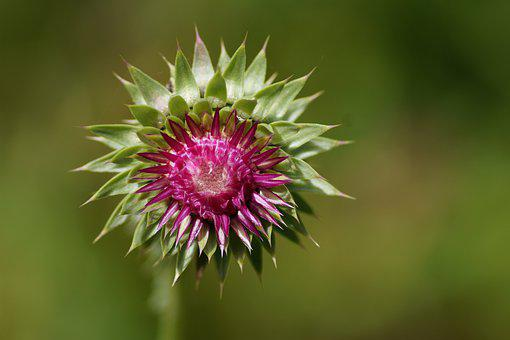 Flower, Thistle, Alps, Prickly