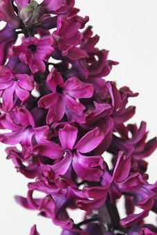 Flowers, Primula, Hyacinths, Macro, Purple, Plants