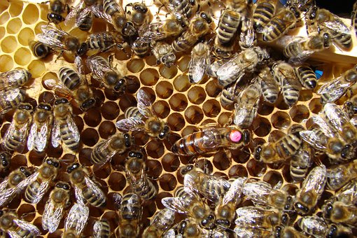 Bees, Mother Bee, Queen, Insects, Honey