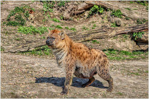 Hyena, Fur, Foot, Snout, View, Ears, Stains, Animal