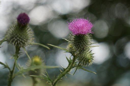 Thistle Flower, Purple, Thistle, Plant, Prickly, Summer