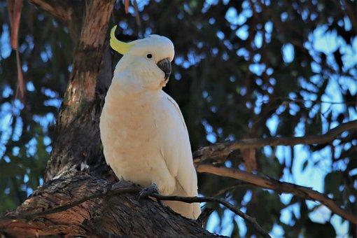 Sulphur-crested Cockatoo, Tree, White, Native