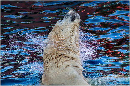 Polar Bear, Water, Shake, Bear, White, Swim, Fur, Large