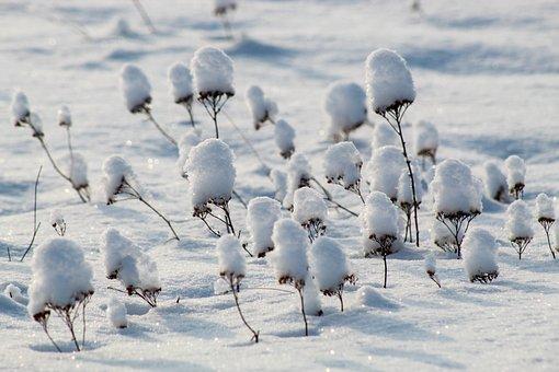 Snow, Winter, White, Grass, Yarrow, Nature, Snowdrift