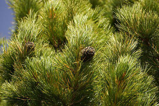 Cedar, Cone, Tree, Wood