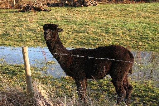 Alpaca, Grass, Animal, Livestock, Cute, Wool, Pasture