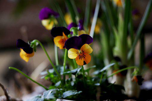 Violets, Small, Colorful, Purple, Yellow, Garden
