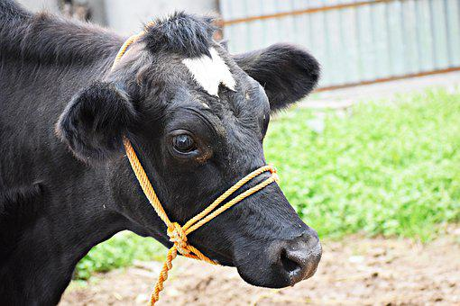 Cow, Animal, Domestic, Livestock, Cattle, Mammal, Farm