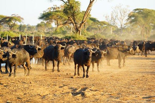 Buffaloes, Africa, Wildlife, Animal, Safari, Savanna
