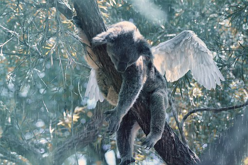 Koala, Animal Soul, Angel, Australia