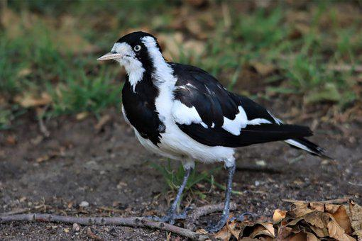 Black And White, Magpie Lark, Native, Australian