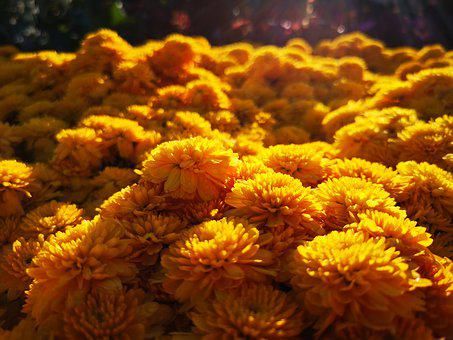 Flower, Thailand, Plant, Nature, Lotus, Summer, Bloom