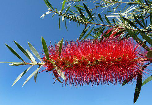 Flower, Tree, Red, Bottle Brush, Australian, Garden