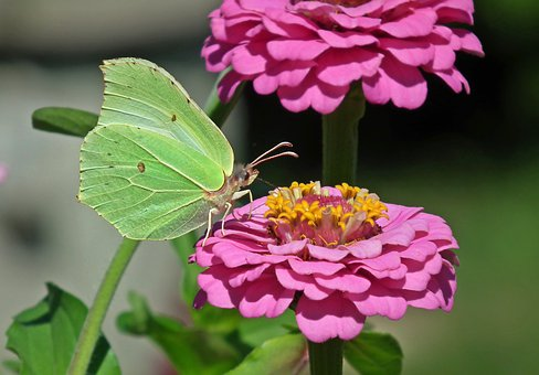 Butterfly, Insect, Sulphur Butterfly, Nature, Macro
