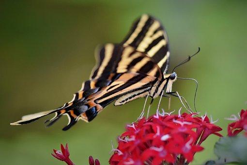 Schwalbenschwänzchen, Butterfly