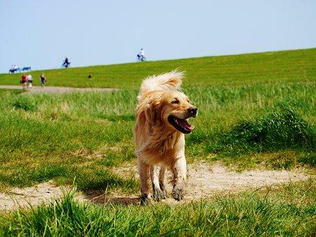 Golden Retriever, Dog, Dog Breed, Pet, Animal