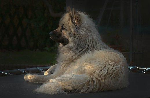 Dog, Eurasians, Trampoline, Animal, Sitting, Fur