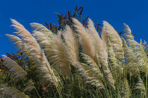 Elephant Grass, Grass, Silver Spring, Miscanthus