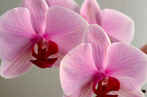 Orchid, Phalaenopsis, Můrovec, Flower, Pink