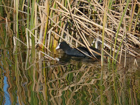 Coot, Pond, Juncal, Fulica, Ave