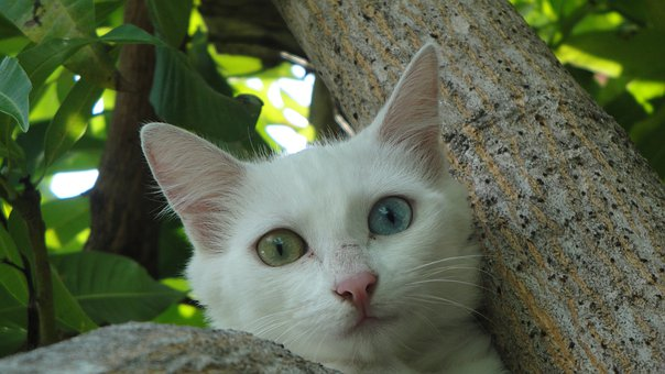 Gata, Beautiful, Nature, Eyes Of Different Color, Day