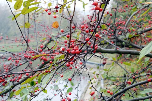 Branch, Tree, Fruit, Red, Seeds, Leaves, Green, Yellow