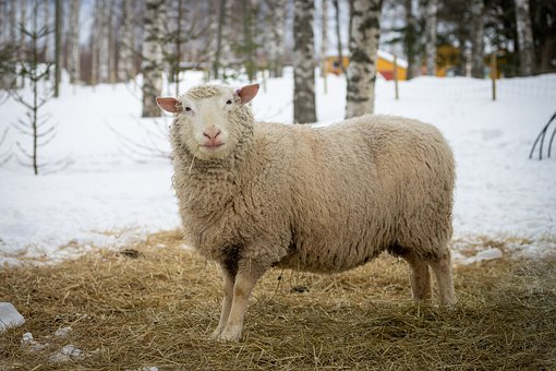 Sheep, Animal, Lamb, Farm, Wool, Nature