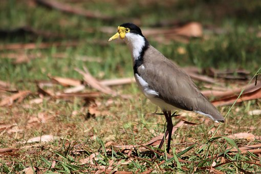 Masked, Lapwing, Black, Crown, White, Chest, Native