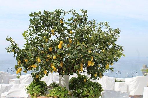 Lemon, Tree, Amalfi, Coast, Italy, 2019