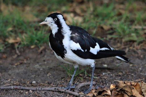 Black And White, Magpie Lark, Native, Australian