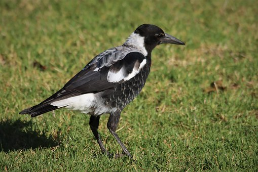 Magpie, Noisy, Crow, Black And White, Native