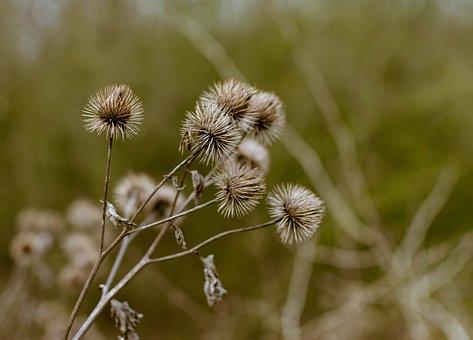 Plant, Slug Burdock, Asterales, Asteraceae, Winter