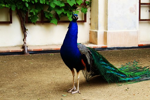 Prague, Peacock, Blue, Head, Animal, Bird, Czech