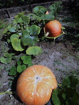 Dynia, Jesień, Pumpkin, Autumn, Vegetables, Orange