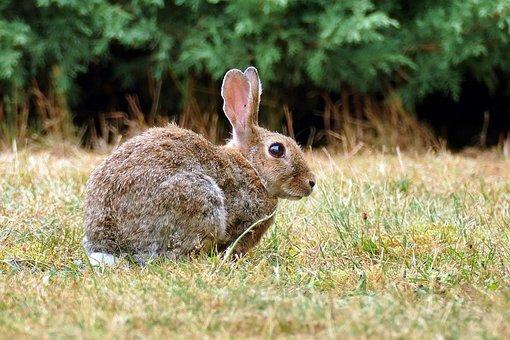 Wild Rabbits, Rabbit, Oryctolagus Cuniculus, Animal