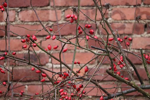 Rose Hip, Bush, Rosebush, Red, Nature, Wall, Bricks