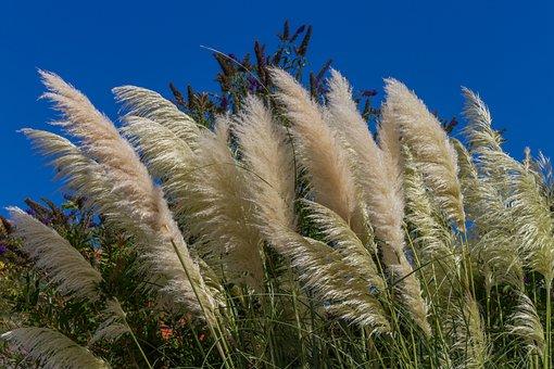 Elephant Grass, Grass, Silver Spring