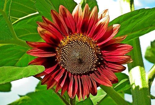 Sunflower, Flower, Dashing, Summer, Plant, Nature