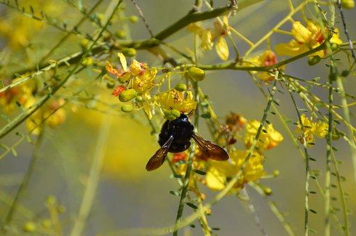 Bee, Carpenter Bee, Tree, Flowers, Palo Verde Tree