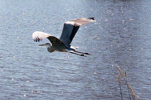 Blue Heron, Heron, Nature, Wildlife, Bird, Water, Wild