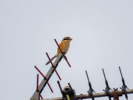Animal, Bird, Wild Birds, Shrike, Antenna, Roof