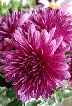 Mum, Pink Flower, Chrysanthemum, Bloom
